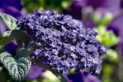 Фото 30 Цветок гелиотроп: популярные виды и рекомендации по правильной посадке, уходу и размножении