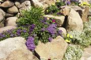 Фото 22 Цветок гелиотроп: популярные виды и рекомендации по правильной посадке, уходу и размножении