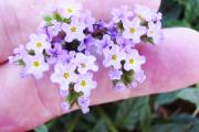 Фото 32 Цветок гелиотроп: популярные виды и рекомендации по правильной посадке, уходу и размножении