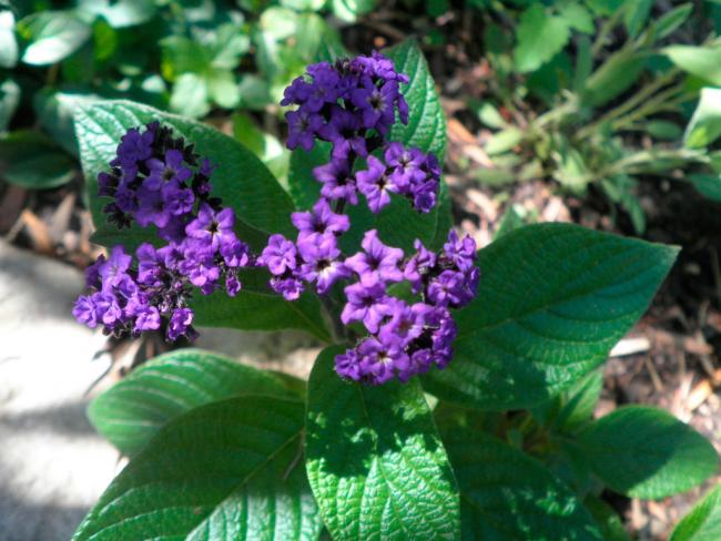 Все виды и сорта отличаются разным ароматом, это обусловлено наличием эфирного масла в цветках