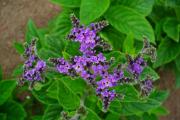 Фото 23 Цветок гелиотроп: популярные виды и рекомендации по правильной посадке, уходу и размножении