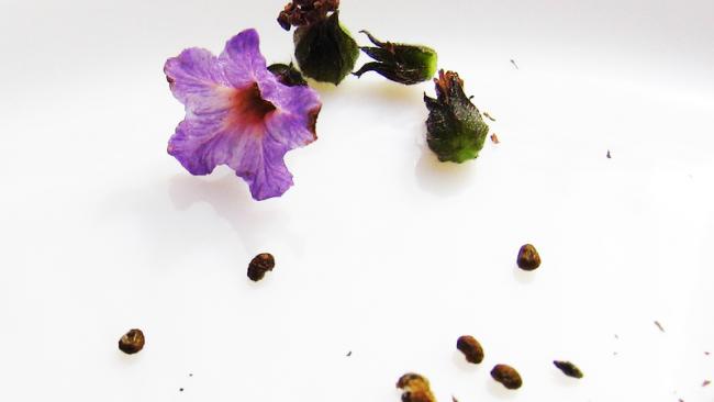 Собственные семена не дадут желаемого результата при посадке гелиотропа, рекомендуется из покупать Собственные семена не дадут желаемого результата при посадке гелиотропа, рекомендуется из покупать