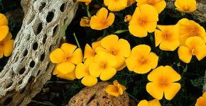 Эшшольция: разновидности и советы опытных садоводов по уходу фото