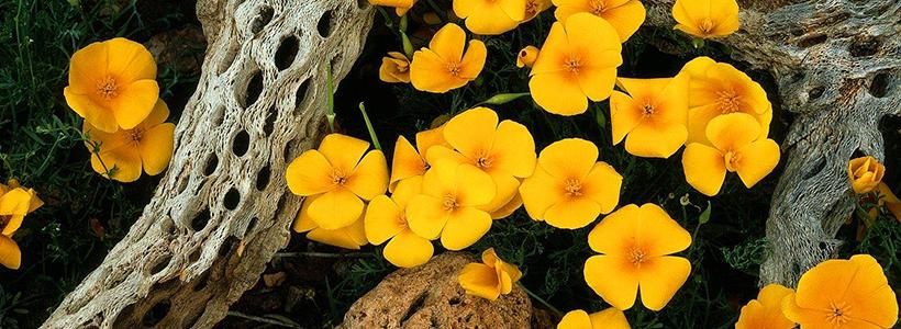 Эшшольция: разновидности и советы опытных садоводов по уходу