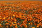 Фото 12 Эшшольция: разновидности и советы опытных садоводов по уходу