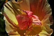 Фото 9 Эшшольция: разновидности и советы опытных садоводов по уходу