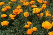 Фото 11 Эшшольция: разновидности и советы опытных садоводов по уходу