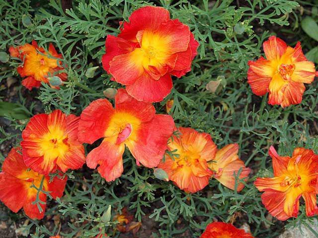 Калифорнийская эшшольция - один из самых распространенных видов этого растения