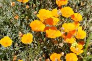 Фото 16 Эшшольция: разновидности и советы опытных садоводов по уходу