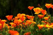 Фото 7 Эшшольция: разновидности и советы опытных садоводов по уходу