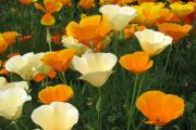 Фото 17 Эшшольция: разновидности и советы опытных садоводов по уходу