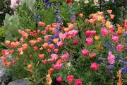 Фото 2 Эшшольция: разновидности и советы опытных садоводов по уходу