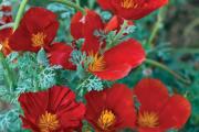 Фото 19 Эшшольция: разновидности и советы опытных садоводов по уходу