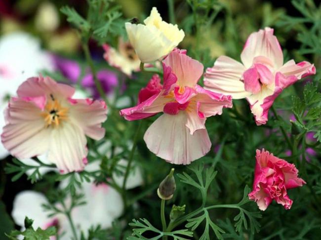 Эшшольция-прекрасное растение, которое не требует особого ухода