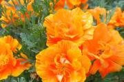 Фото 38 Эшшольция: разновидности и советы опытных садоводов по уходу