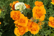 Фото 20 Эшшольция: разновидности и советы опытных садоводов по уходу