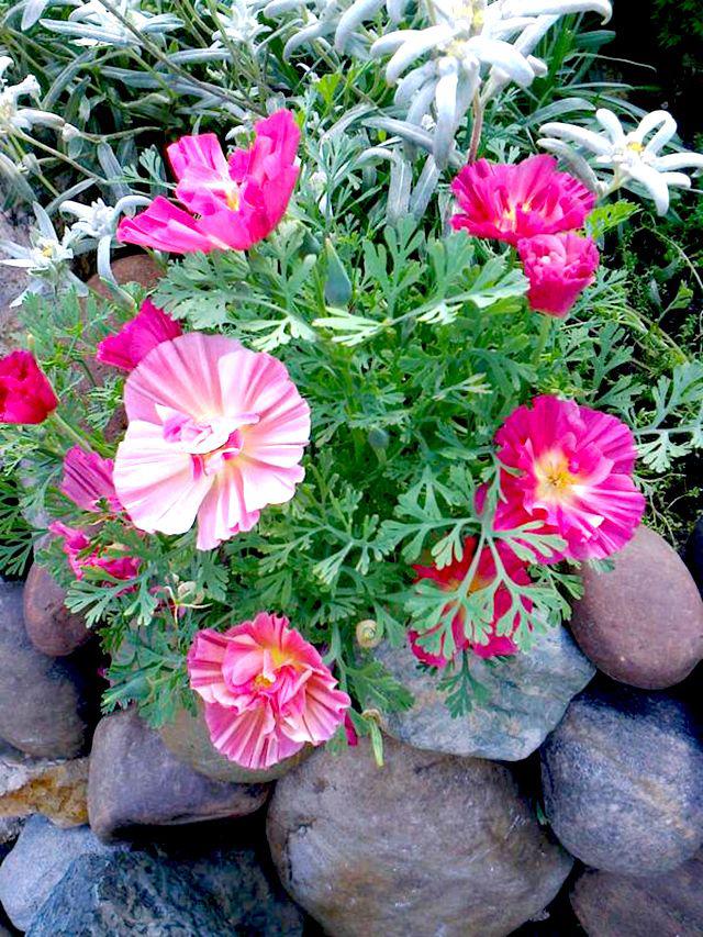Разнообразие оттенков позволяет использовать эшшольцию для создания композиций садового декора