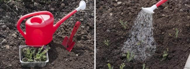 Грамотная рассадка и полив эшшольции поможет вырасти красивым ярким цветам