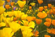 Фото 34 Эшшольция: разновидности и советы опытных садоводов по уходу