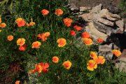 Фото 36 Эшшольция: разновидности и советы опытных садоводов по уходу