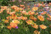 Фото 14 Эшшольция: разновидности и советы опытных садоводов по уходу