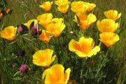 Фото 37 Эшшольция: разновидности и советы опытных садоводов по уходу