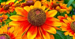 Гайлардия: как правильно посадить растение и особенности ухода за однолетниками фото