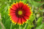 Фото 5 Гайлардия: как правильно посадить растение и особенности ухода за однолетниками