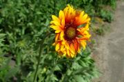 Фото 6 Гайлардия: как правильно посадить растение и особенности ухода за однолетниками