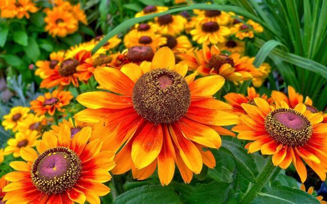 Прекрасная цветок из семейства астровых американского происхождения