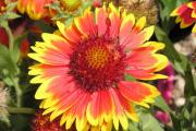 Фото 3 Гайлардия: как правильно посадить растение и особенности ухода за однолетниками