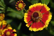 Фото 11 Гайлардия: как правильно посадить растение и особенности ухода за однолетниками