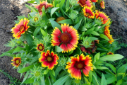 Фото 13 Гайлардия: как правильно посадить растение и особенности ухода за однолетниками