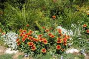 Фото 15 Гайлардия: как правильно посадить растение и особенности ухода за однолетниками