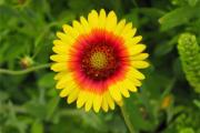 Фото 16 Гайлардия: как правильно посадить растение и особенности ухода за однолетниками