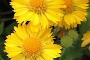 Фото 18 Гайлардия: как правильно посадить растение и особенности ухода за однолетниками