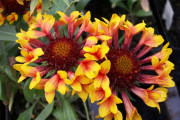 Фото 4 Гайлардия: как правильно посадить растение и особенности ухода за однолетниками