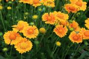 Фото 21 Гайлардия: как правильно посадить растение и особенности ухода за однолетниками