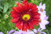 Фото 22 Гайлардия: как правильно посадить растение и особенности ухода за однолетниками