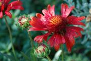 Фото 23 Гайлардия: как правильно посадить растение и особенности ухода за однолетниками