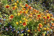 Фото 24 Гайлардия: как правильно посадить растение и особенности ухода за однолетниками