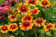 Фото 27 Гайлардия: как правильно посадить растение и особенности ухода за однолетниками