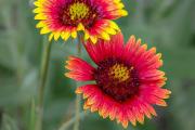 Фото 28 Гайлардия: как правильно посадить растение и особенности ухода за однолетниками