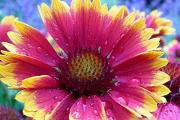 Фото 29 Гайлардия: как правильно посадить растение и особенности ухода за однолетниками