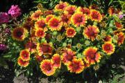 Фото 30 Гайлардия: как правильно посадить растение и особенности ухода за однолетниками