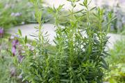 Фото 4 Иссоп или синий зверобой: обзор целебных свойств растения и его использование в кулинарии