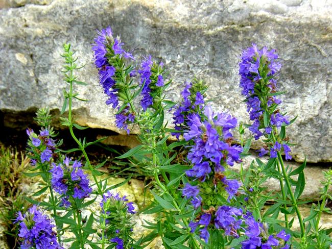Иссоп лекарственный – это растение семейства Яснотковые с разносторонним лечебным действием