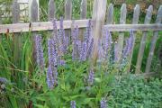 Фото 23 Иссоп или синий зверобой: обзор целебных свойств растения и его использование в кулинарии