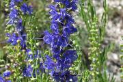 Фото 27 Иссоп или синий зверобой: обзор целебных свойств растения и его использование в кулинарии
