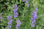 Фото 29 Иссоп или синий зверобой: обзор целебных свойств растения и его использование в кулинарии